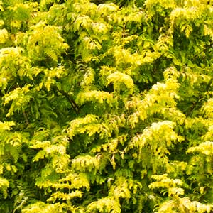 Gold-Rush-Dawn-Redwood-1