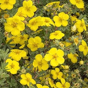 Gold-Star-Potentilla-300x300-150x150@2x