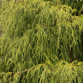 Golden-Charm-Thread-Branch-Cypress