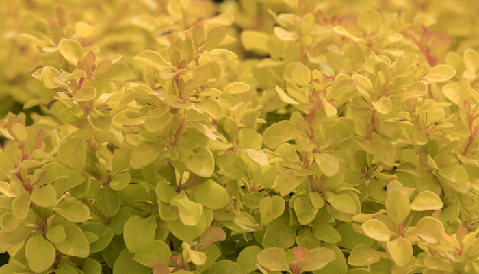 Golden-Jackpot%C2%AE-Barberry-resize3-700x400