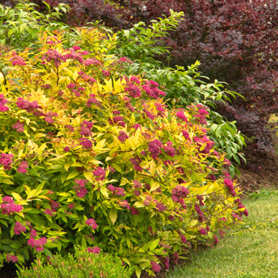 Goldflame-Spirea-400x400