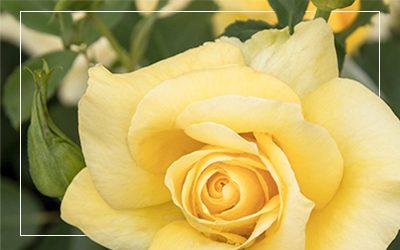 Grace-N-Grit%E2%84%A2-Yellow-Shrub-Rose-400x250_border@2x