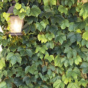 Green-Showers-Boston-Ivy-300x300-150x150@2x
