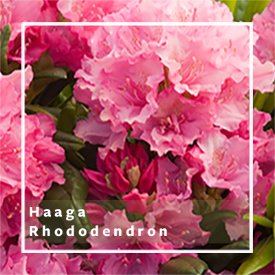HaagaRhododendron_400x400