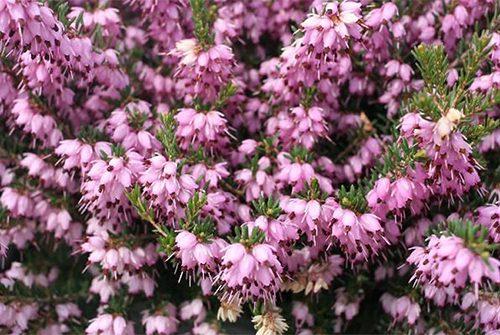 Heath-Mediterranean-Pink-horizontal-560x335@2x