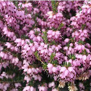 Heath-Mediterranean-Pink300x300-150x150@2x