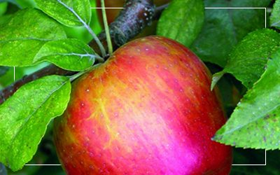Honeycrisp-apple-400x250_border@2x