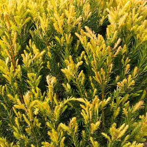 Hubers-Tawny-Gold-Spreading-Yew