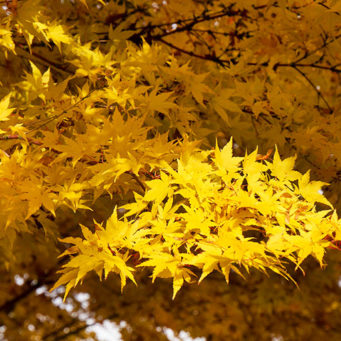 IMG_ID_CoralBarkJapaneseMaple-341x341