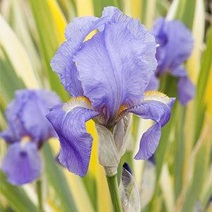 Irispallida300x300-150x150@2x