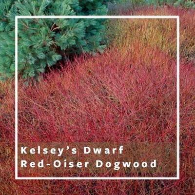Kelseys-dwarf-red-oiser-dogwood_400