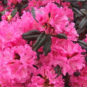 Landmark-Rhododendron-300x300