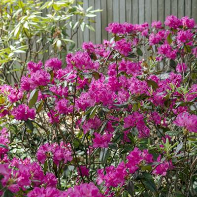 Landmark-Rhododendron-400x400
