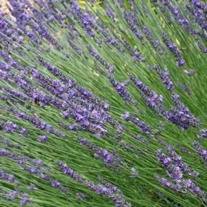 Lavandula_Provence-300-150x150@2x