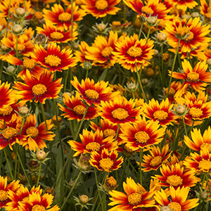 Little-Bang-Coreopsis-300x300-150x150@2x