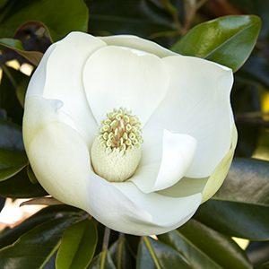 Little-Gem-Dwarf-Southern-Magnolia-300x300-150x150@2x