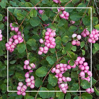 MON_400x400_Berries