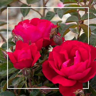 MON_400x400_CP_roses
