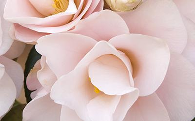 Magnoliaeflora-Camellia-400x250