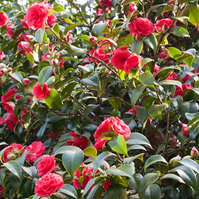 Mathotiana-Supreme-Camellia-400x400