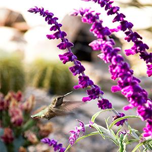Santa Barbara Mexican Bush Sage