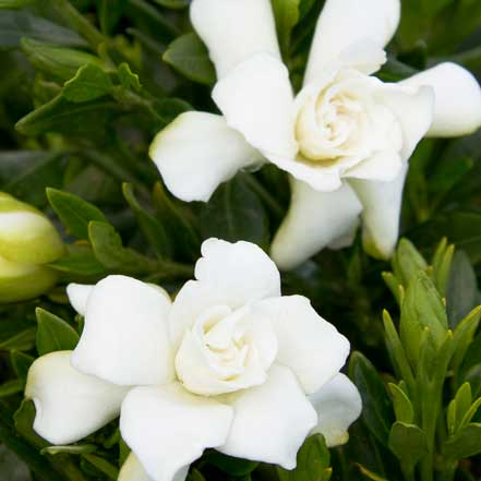 Miniature-Gardenia