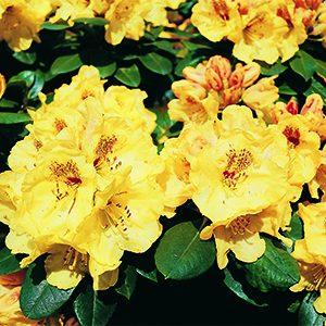 Miyama%E2%84%A2-Gold-Prinz-Rhododendron-300x300-150x150@2x