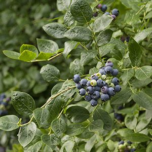 Northland-Midseason-Blueberry-300x300-150x150@2x