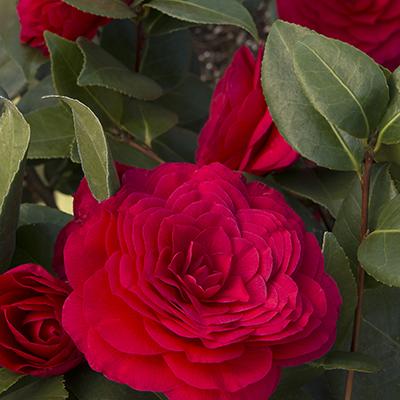 Nuccios-Bella-Rossa-Camellia-400x400
