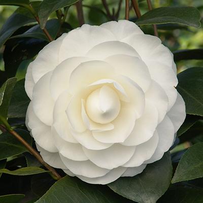 Nuccios-Gem-Camellia-400x400