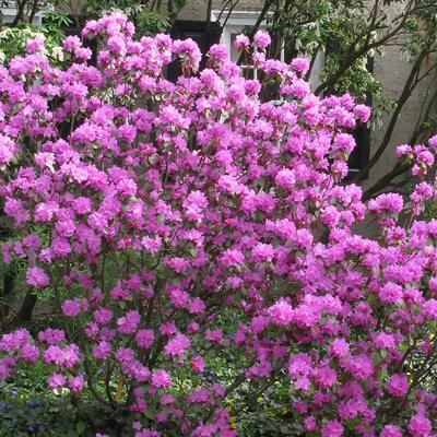 Olga-Mezitt-Rhododendron-400x400