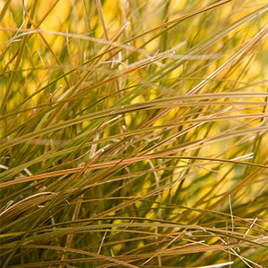 Orange-New-Zealand-Sedge-300x300