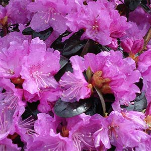 PJM-rhododendron-300x300