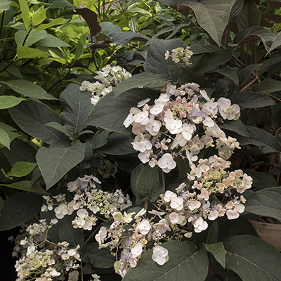 Plum-Passion%C2%AE-Improved-Hydrangea-400x400