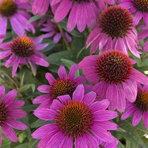 PowWowConeflower300x300