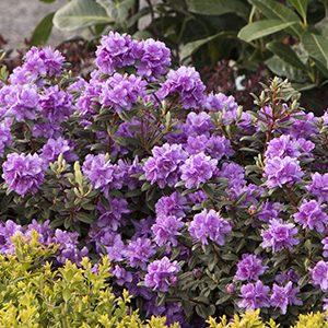 Ramapo-Rhododendron-300x300-150x150@2x