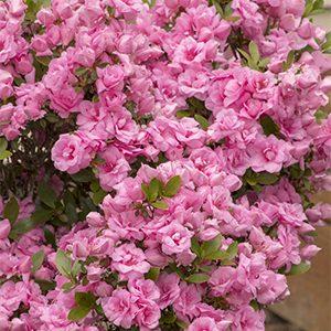 Rosebud-Azalea-300x300-150x150@2x