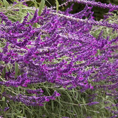 Santa-Barbara-Mexican-Bush-Sage-400x400