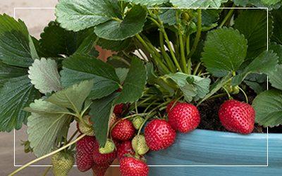Seascape-Strawberry-400x250_border@2x
