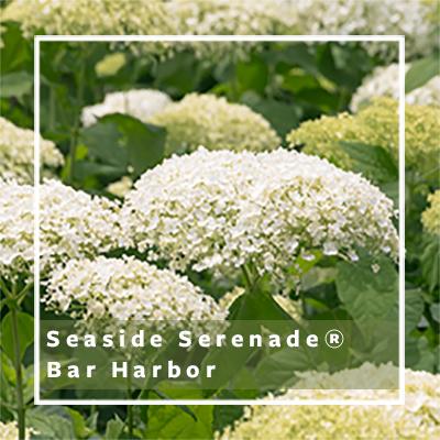 Seaside-Serenade-Bar-Harbor_400