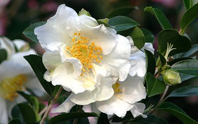 Setsugekka-Camellia-400x250