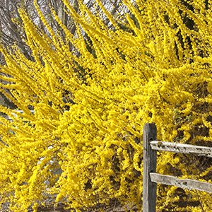 Spring-Glory-Forsythia-300x300-150x150@2x
