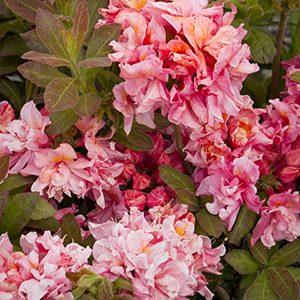 Sunset-Pink-Azalea-300x300-150x150@2x