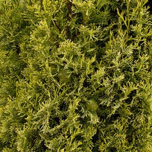 Swanes-Golden-Italian-Cypress-400x400-300x300