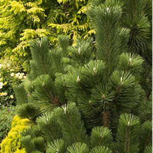 Thunderhead-Japanese-Black-Pine-300x300-150x150@2x