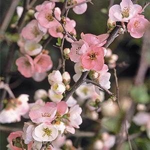 Toyo-Nishiki-Flowering-Quince-300x300