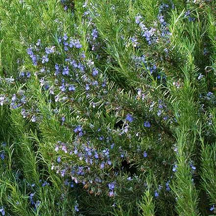 Tuscan-Blue-Rosemary