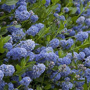 Victoria-California-Lilac-300-150x150@2x