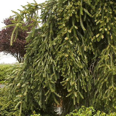 Weeping-Norway-Spruce-400x400