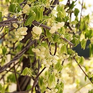 White-Flowered-Chocolate-Vine300x300